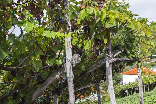 Madeira Wein - Weingarten